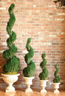 Preserved Classic Spiral Topiary - 60""